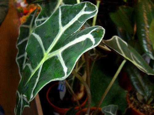 Алоказия: уход и особенности выращивания в домашних условиях
