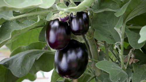 Баклажаны: посадка, уход, рассада, выращивание, в теплице, в открытом грунте