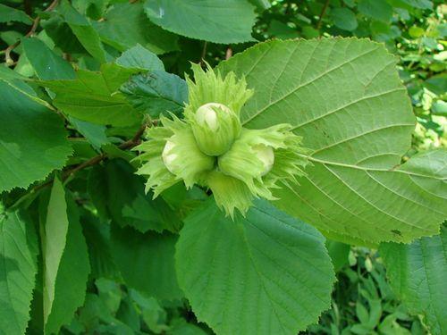 Чем интересно растение лещина обыкновенная и пара слов о ее свойствах
