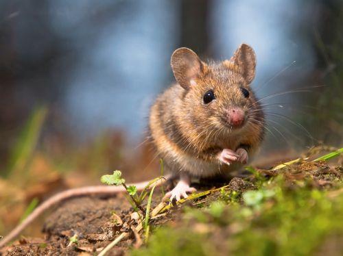Чернокорень лекарственный от мышей: фото