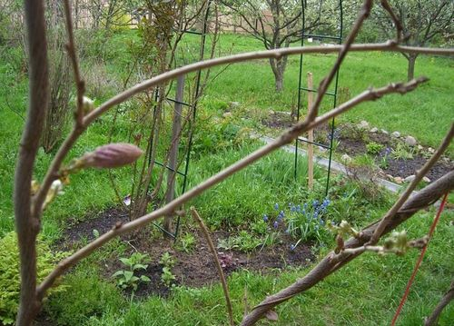 Глициния: уход и выращивание в домашних условиях в средней полосе, посадка, виды, размножение (100 фото) – Кошкин Дом