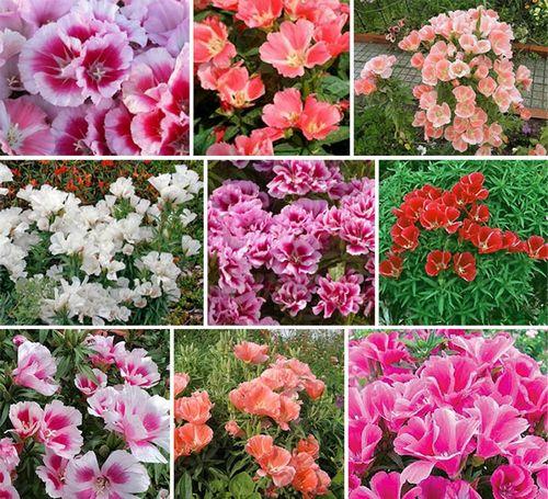 Годеция: посадка, уход и выращивание из семян в домашних условиях, виды, размножение и выращивание (100 фото) – Кошкин Дом