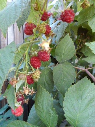 Как посадить малину осенью на даче - пошаговая инструкция с видео