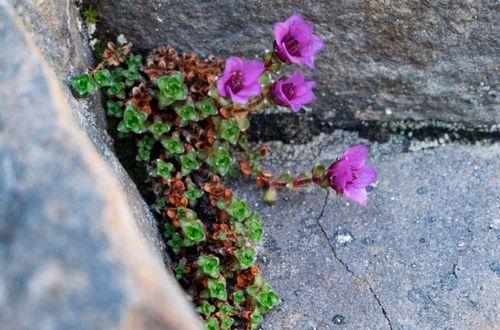 Камнеломка: посадка и уход, фото, особенности, виды