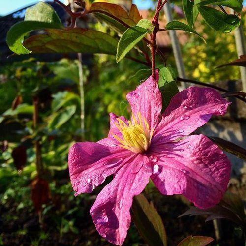 Клематисы: фото, посадка, уход, выращивание