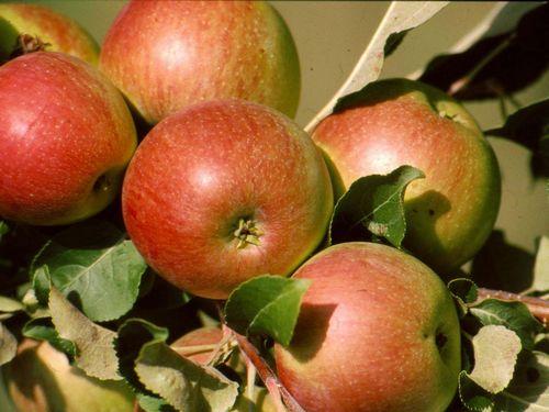 Когда и как правильно пересадить яблоню на новое место