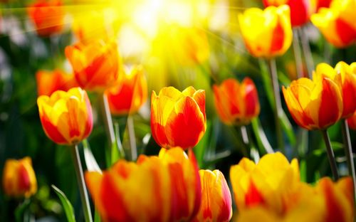 Когда сажать тюльпаны осенью, рекомендации профессионалов