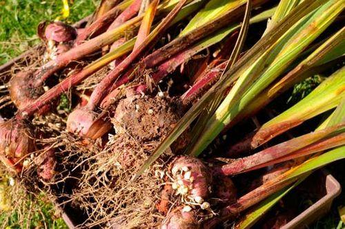Когда убирают гладиолусы осенью и как их хранить - инструкция