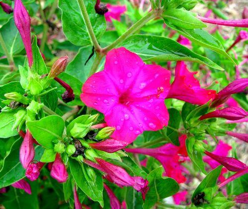 Мирабилис: посадка и уход. Любимый цветок королевы-ночи