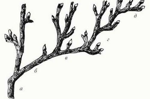 Обрезка старого куста смородины осенью: омоложение, схема