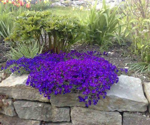 Обриета: выращивание из семян разноцветных «водопадов»