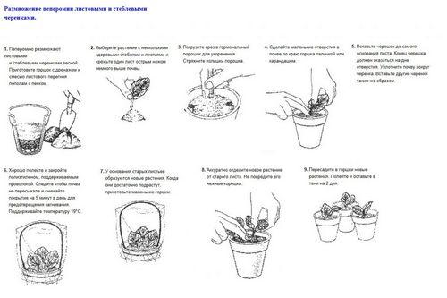 Пеперомия: уход в домашних условиях, виды, размножение и выращивание (100 фото) – Кошкин Дом