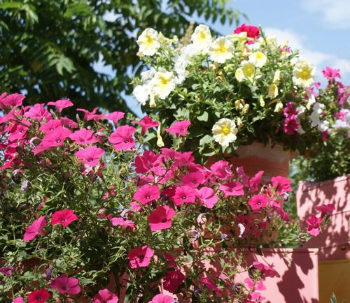 Петуния: уход в домашних условиях, сорта, подкормка, полив (100 фото разновидностей) – Кошкин Дом