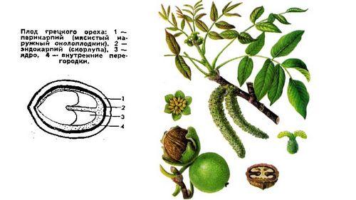 Полезные и вредные свойства грецкого ореха: лучшие рецепты