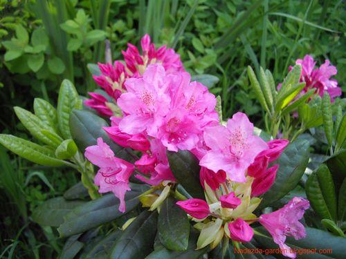 Рододендроны: морозоустойчивые сорта для российского климата