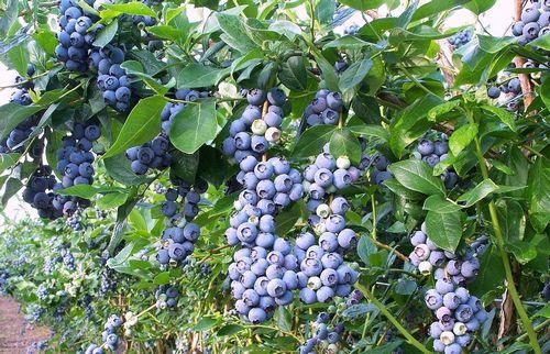 Голубика садовая, посадка и уход, фото