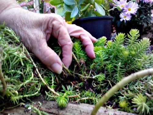 Тонкости выращивания и интересные моменты в уходе за очитком