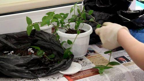 Традесканция: уход в домашних условиях, виды, размножение и выращивание (100 фото) – Кошкин Дом