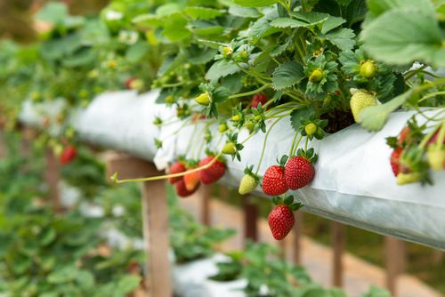 Уход и подкормка клубники во время цветения и плодоношения