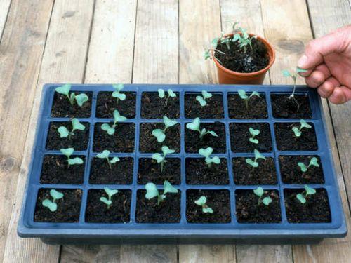 Выращивание брокколи в открытом грунте - от посадки семян до урожая