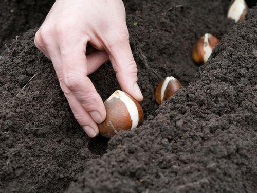 Выращивание тюльпанов: посадка и уход, видео и фото, советы